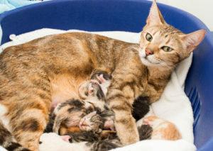 cuanto dura el embarazo de un gato siames