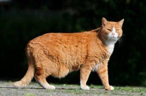 cuanto dura el embarazo de un gato domestico