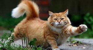 cuanto tarda el embarazo de un gato