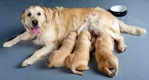 embarazo perros duración
