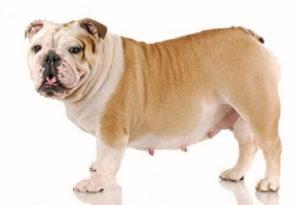 embarazo perros cuanto dura