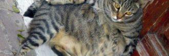 Cuánto dura el embarazo de un gato