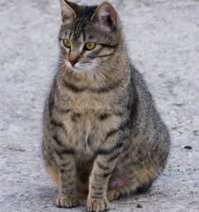 cuanto dura el embarazo de un gato persa